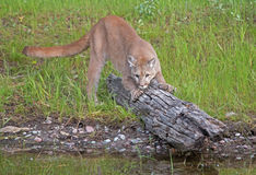 Mountain lion on log by lakeside Royalty Free Stock Photos