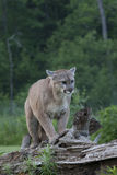 Mountain Lion on a Log Stock Images
