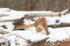 Mountain lion with long tail Royalty Free Stock Photos
