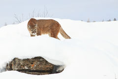 Mountain lion looking for prey. Mountain lion walking in snow in mountains looking for prey Royalty Free Stock Image