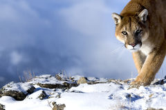 Mountain Lion is looking towards the camera directly. Royalty Free Stock Photography