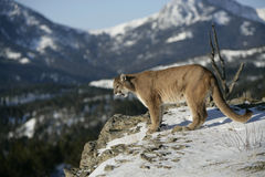 Mountain Lion Looking into Valley Royalty Free Stock Images