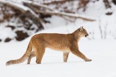 Mountain lion making stroll in wintertime Stock Photos