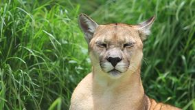 Mountain Lion. Grooming In House Grass Shot With, Camera Lockdown stock video