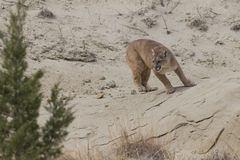 Mountain lion near den Stock Photo