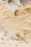 Mountain lion peeking over edge or ridge royalty free stock image