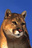 Mountain Lion Portrait Royalty Free Stock Photo