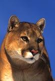 Mountain Lion Portrait Royalty Free Stock Photo