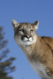 Mountain Lion portrait Stock Photos