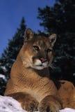 Mountain Lion Portrait. A portrait of a mountain lion lying on a snowy ridge Royalty Free Stock Photo