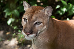 Mountain Lion Portrait Royalty Free Stock Image