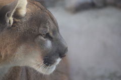 Mountain Lion Portrait. With good space for inspirational copy Royalty Free Stock Image