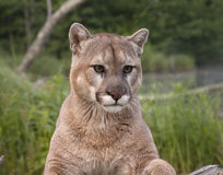 Mountain Lion Portrait Stock Image