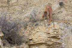 Mountain lion preparing to leap on prey. In Arizona mountains Royalty Free Stock Image