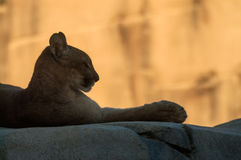 Mountain lion profile. Mountain lion lying on a rock stock images