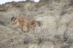 Mountain lion on the prowl for food. Mountain lion hunting for food Royalty Free Stock Photos