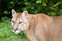 Mountain Lion or Puma Stock Photo