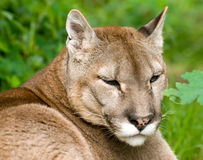 Mountain Lion or Puma Royalty Free Stock Images