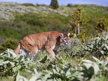 Mountain Lion Puma concolor. Cougar Puma concolor moves through the mountains Royalty Free Stock Photography