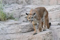 Mountain Lion (Puma concolor) Stock Images
