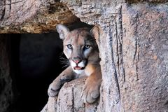 Mountain Lion (Puma concolor) Royalty Free Stock Photos