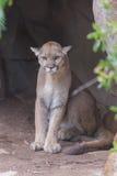 Mountain Lion (Puma concolor) Stock Photos
