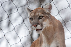 Mountain Lion- Puma - Cougar close up Royalty Free Stock Photography