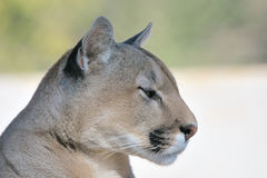 Mountain lion, puma or cougar Royalty Free Stock Images