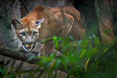 Mountain lion. Puma - Cougar in tree royalty free stock photography