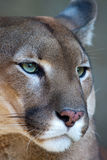 Mountain lion - Puma portrait. Female mountain lion / puma / cougar closeup portrait royalty free stock images