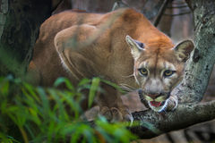 Mountain lion; puma. Prey on the staring twigs of the forest royalty free stock image