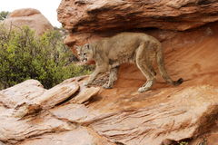 Mountain Lion in Rain. Adult mountain lion on wet red sandstone ledge with green foliage in background Royalty Free Stock Images