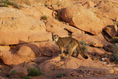 Mountain Lion Red Rock Country. Young mountain lion standing in red sandstone rock formation Royalty Free Stock Photography