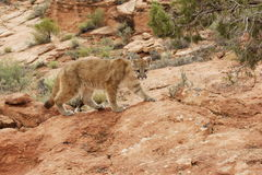Mountain Lion Red Rock Country. Young mountain lion stalking on red sandstone ledge with green foliage in background Royalty Free Stock Image