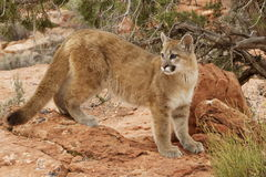 Mountain Lion Red Rock Country. Young mountain lion standing on red sandstone ledge with juniper tree in background Royalty Free Stock Photo