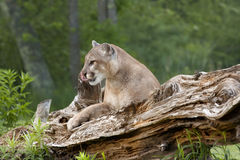 Mountain Lion Resting on Log Royalty Free Stock Photos