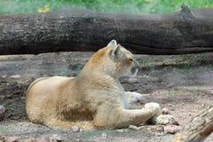 Mountain Lion Stock Photography