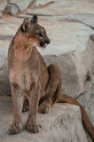 Mountain lion. Resting resting on rock stock images