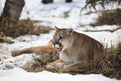 Mountain lion resting under fir tree Royalty Free Stock Images