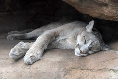 Mountain Lion Resting Stock Photography