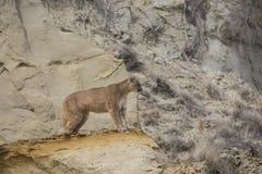 Mountain lion on ridge overlooking valley. Mountain lion standing on rocky ridge Stock Photo