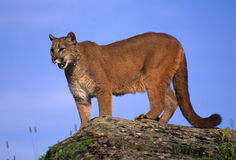 Mountain Lion on Rock Royalty Free Stock Images