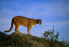 Mountain Lion on Rock. A mountain lion standing on a rock ledge Stock Image