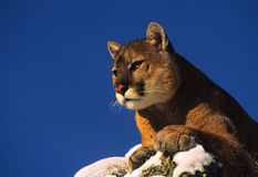 Mountain Lion on Rock Stock Photos