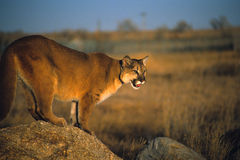 Mountain lion on rock. Mountain lion (cougar) poised on a large rock with open mouth Stock Photos