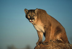 Mountain Lion on Rock. A female mountain lion sitting on a rock Royalty Free Stock Photo