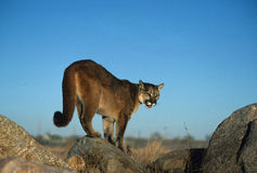 Mountain Lion on Rock. A mountain lion standing on a rock Stock Photography