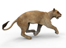 Mountain lion running posture Stock Image