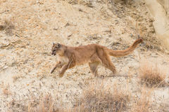 Mountain lion running Royalty Free Stock Photos