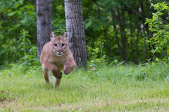 Mountain lion running Stock Images